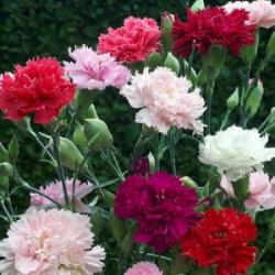 Гвоздика Гренадин: выращивание из семян по методу цветоводов профессионалов