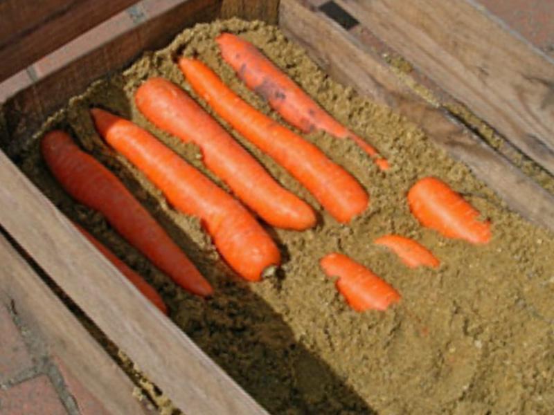 Как сохранить морковь зимой в подвале