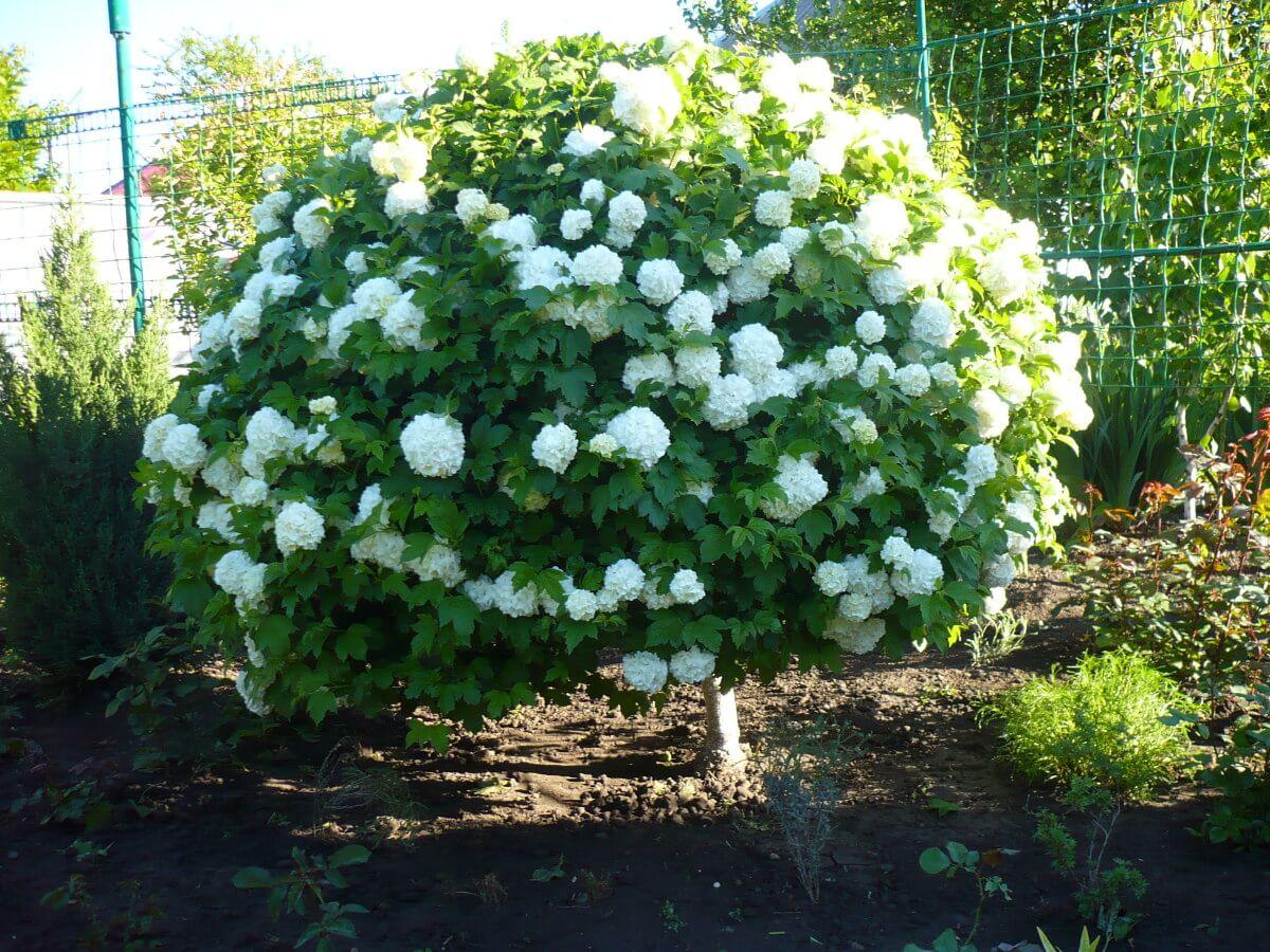 Калина бульденеж: все секреты посадки и ухода для пышного цветения