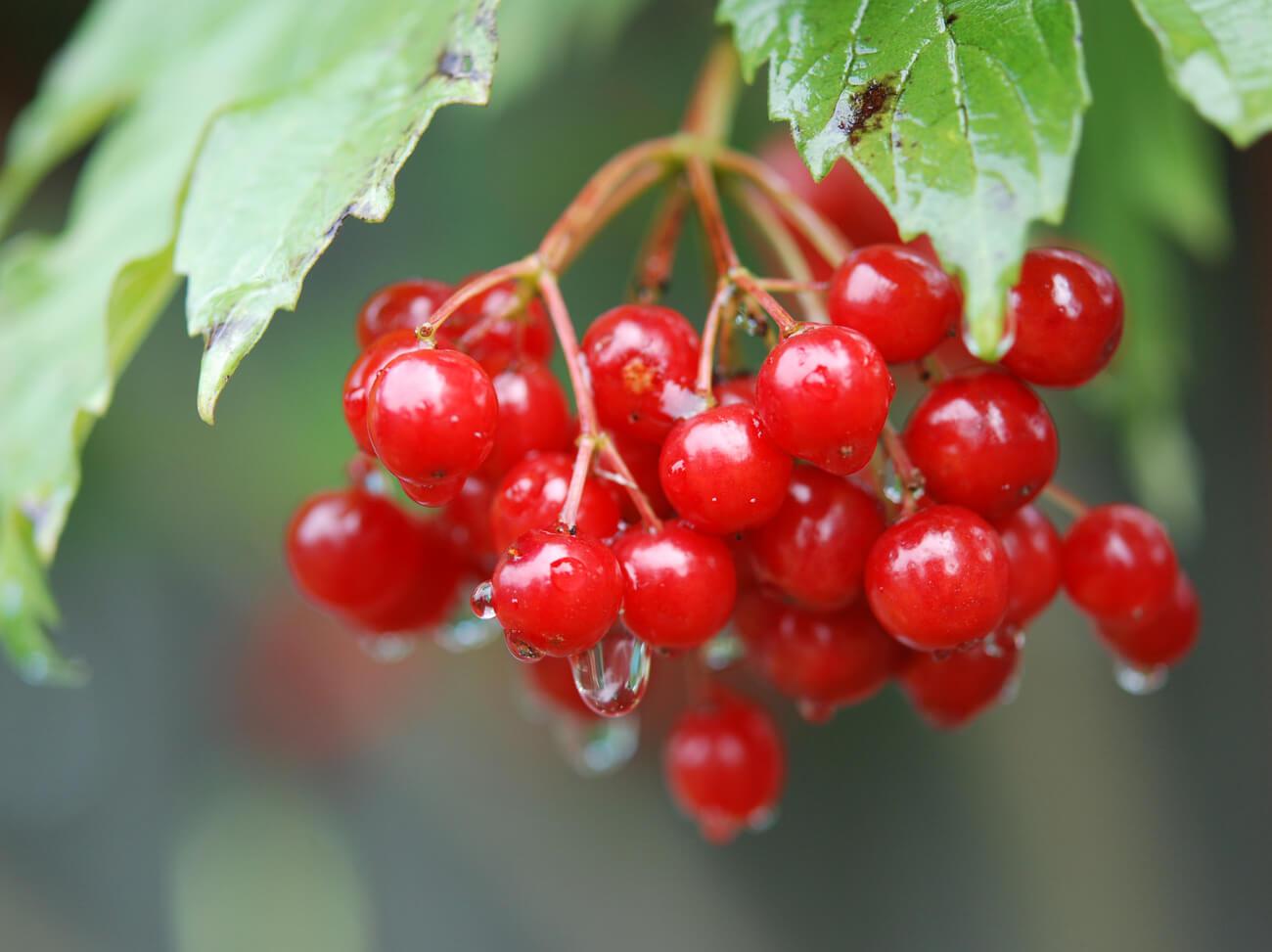 Калина: выращивание и уход в любое время года