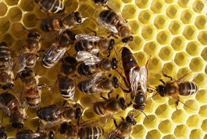 Карпатские пчелы
