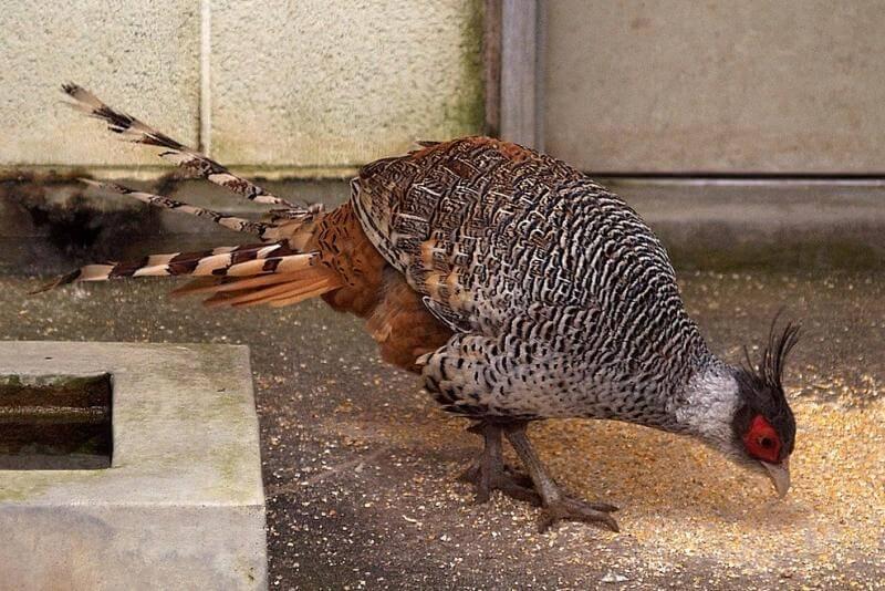 Кормление фазанов