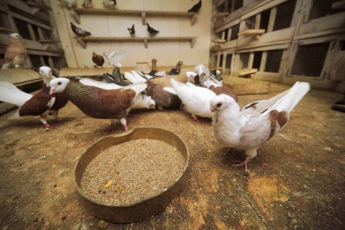 Кормление голубей в домашних условиях