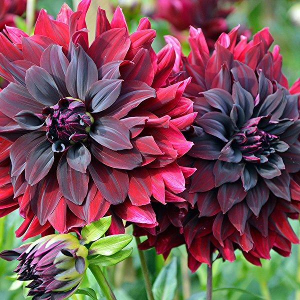 Крупноцветковые георгины