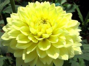 Крупный цветок георгина