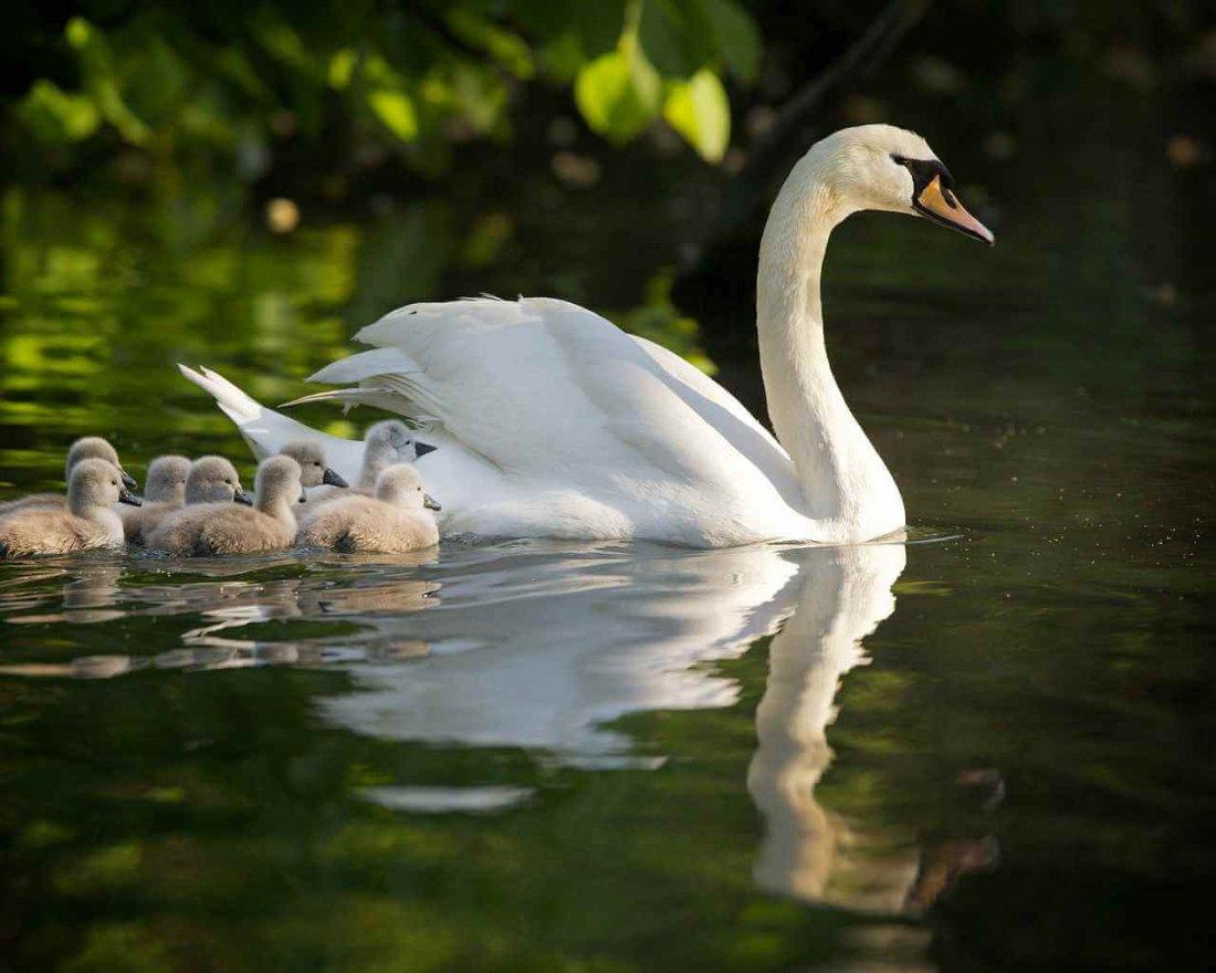 Лебедь-шипун с потомством