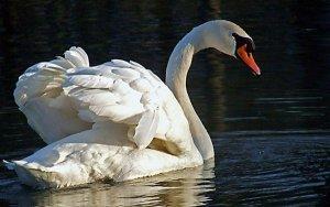 Лебедь в дикой природе
