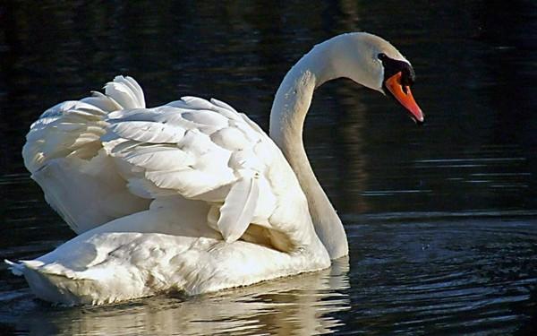 Описание жизни лебедей: характеристика вида, условия кормления, интересные факты