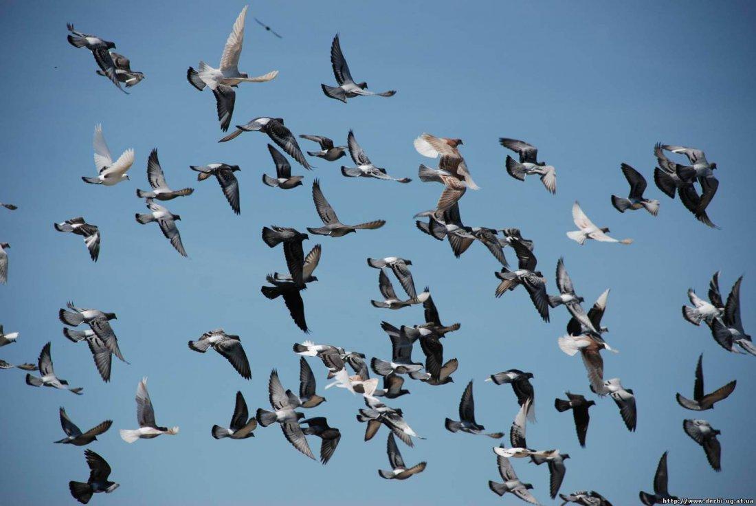 Летные голуби