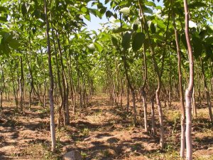 Молодая плантация ореха
