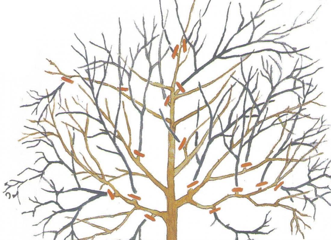 Обрезка грецкого ореха осенью