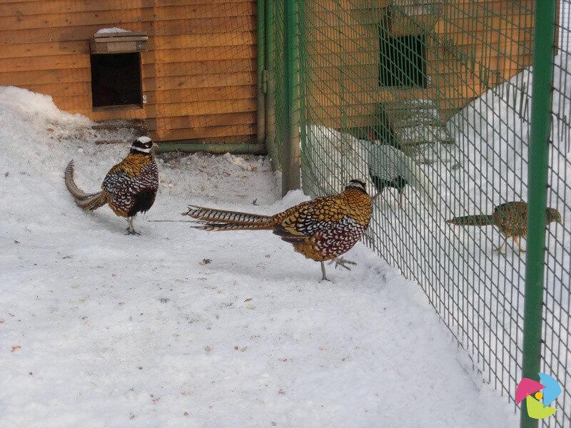 Пара фазанов в вольере