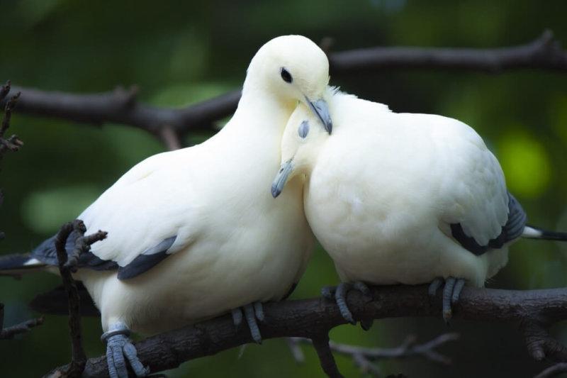 Пара голубей