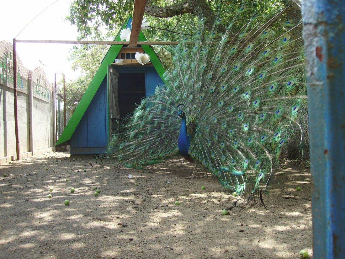 этом доме вольеры для павлинов фото открытый