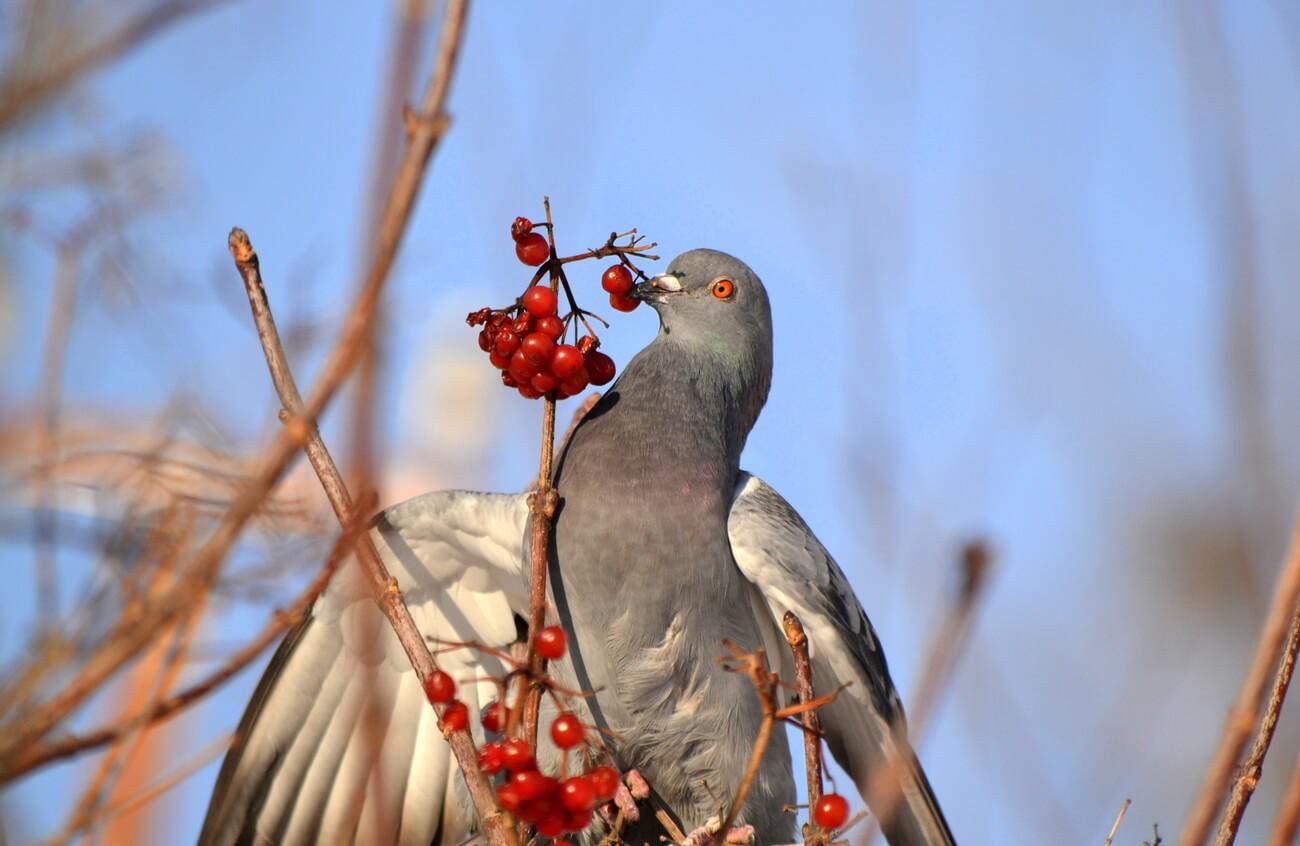 Чем питается голубь: очень важная тема для разводчиков