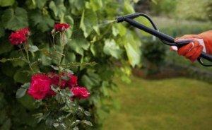 Полив розовых кустов