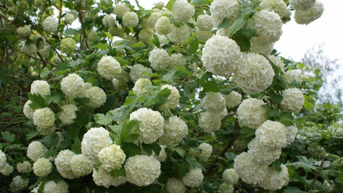 Правильный уход обеспечит красивое цветение калины Бульдонеж