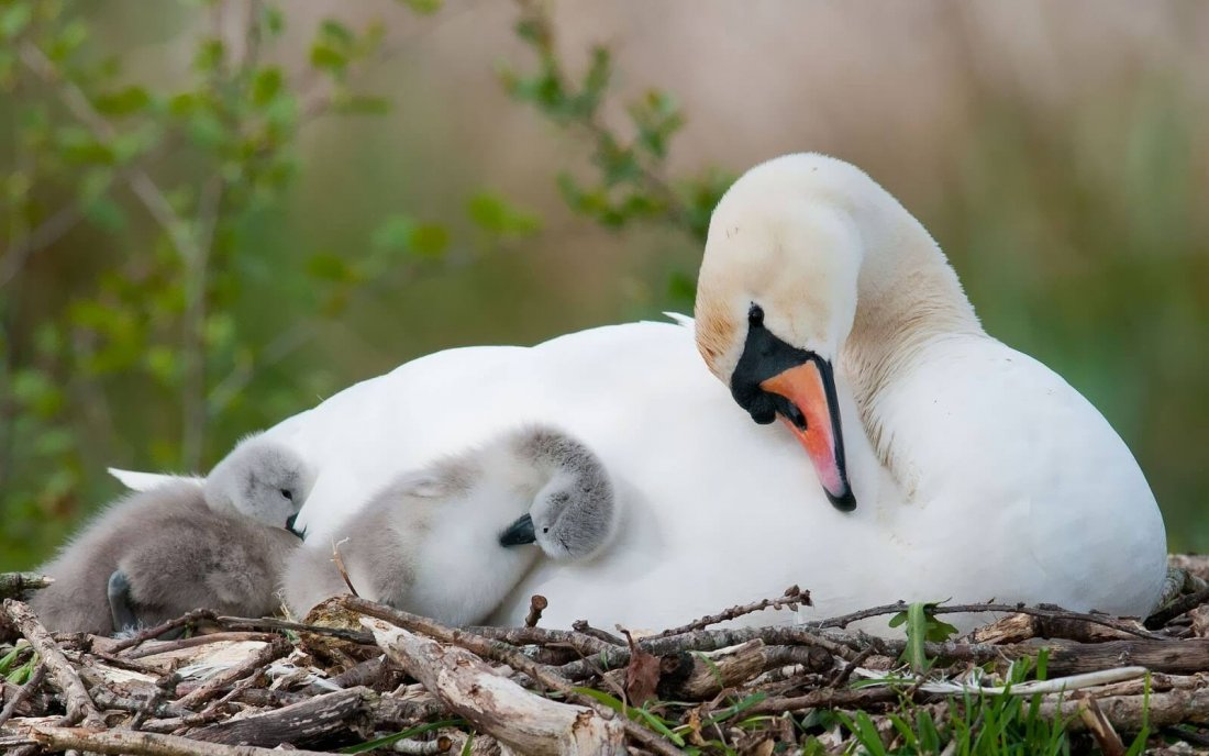 Размножение лебедей