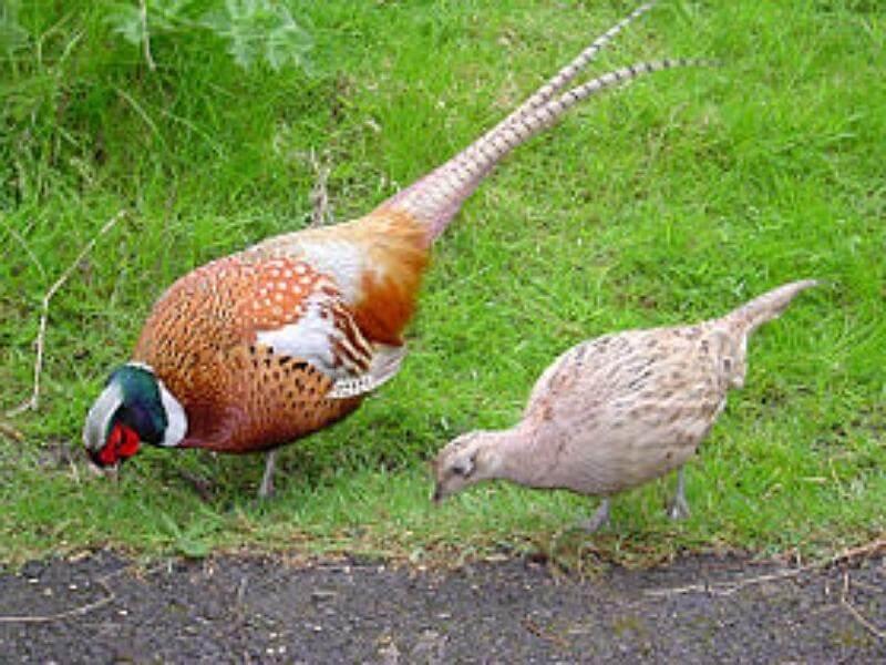 Разведение фазанов