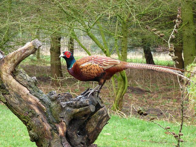 Семейство фазановых птиц: красивое оперение и простота содержания