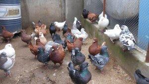Разведение голубей как бизнес