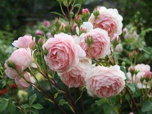 Какие розы самые неприхотливые и зимостойкие: виды и особенности