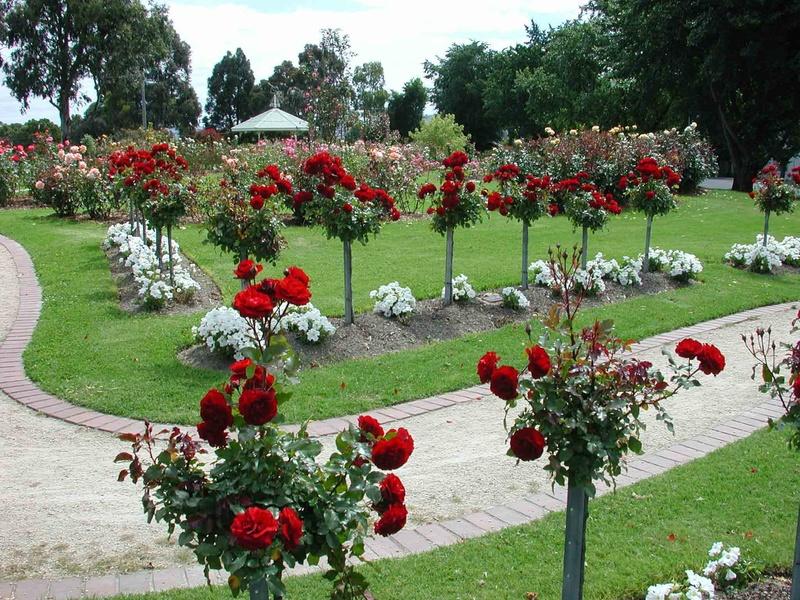 Выращивание и уход за розами в саду: секреты пышного цветения