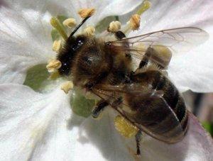 Серая кавказская пчела