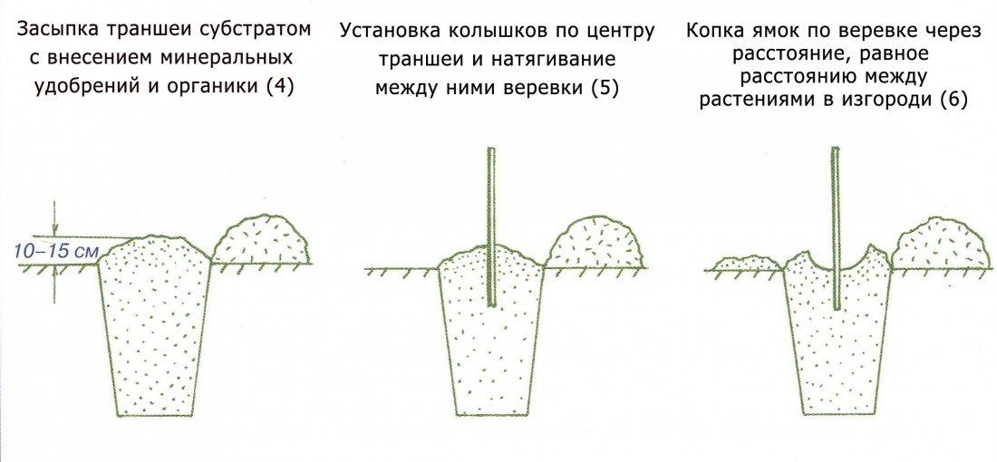 Схема посадки живой изгороди