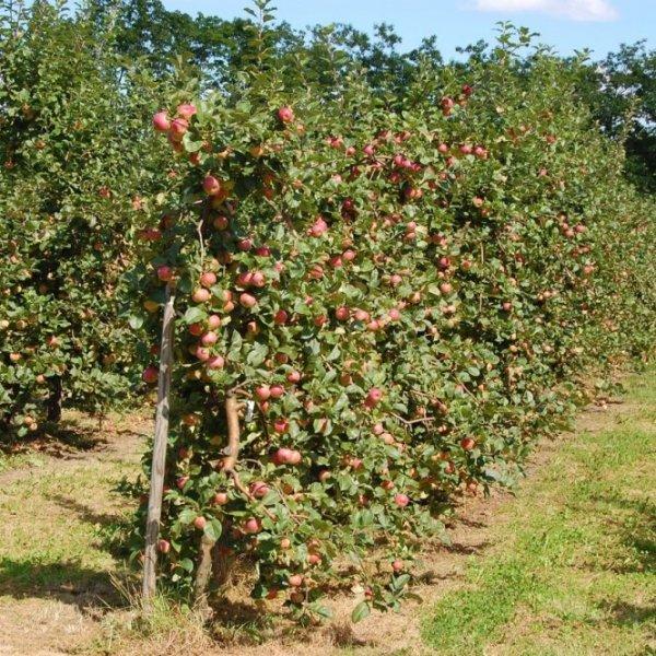 Грецкий орех выращивание и уход в средней полосе 138