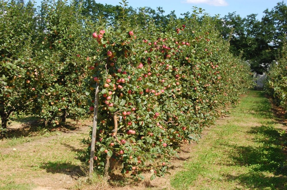 Выращивание орехов фундук: выбор саженца, посадка и борьба с вредителями
