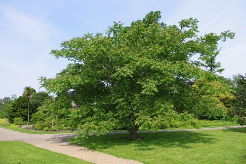 Взрослое дерево