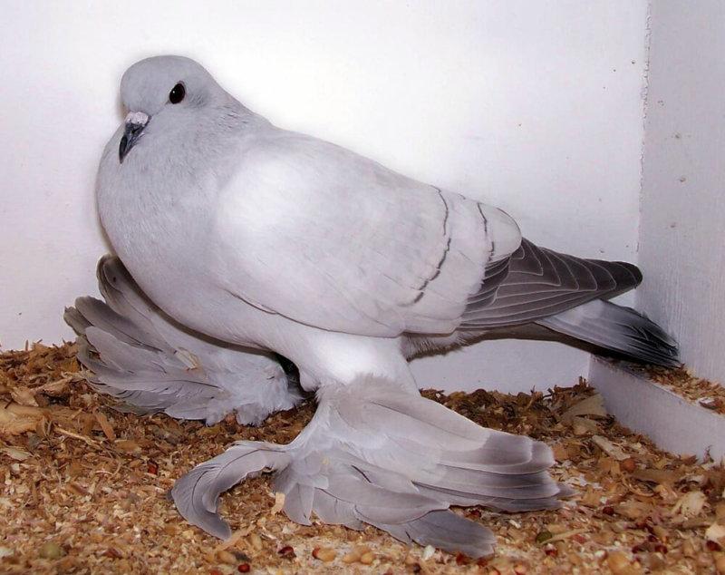 Заболевший голубь