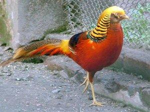 Золотой фазан в вольере