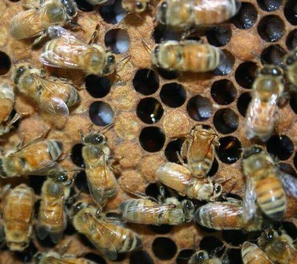Асперллез пчел