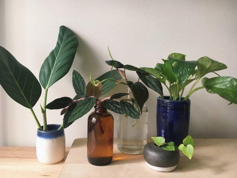Какие комнатные растения размножают черенками