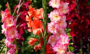 Посадка и уход за цветами гладиолусами