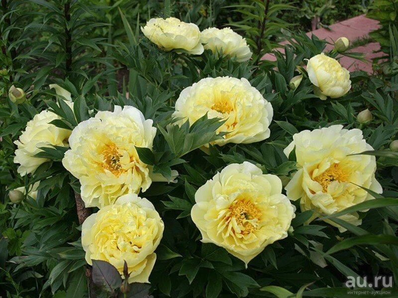 Пионы: сорта с фото и названиями для цветущего сада