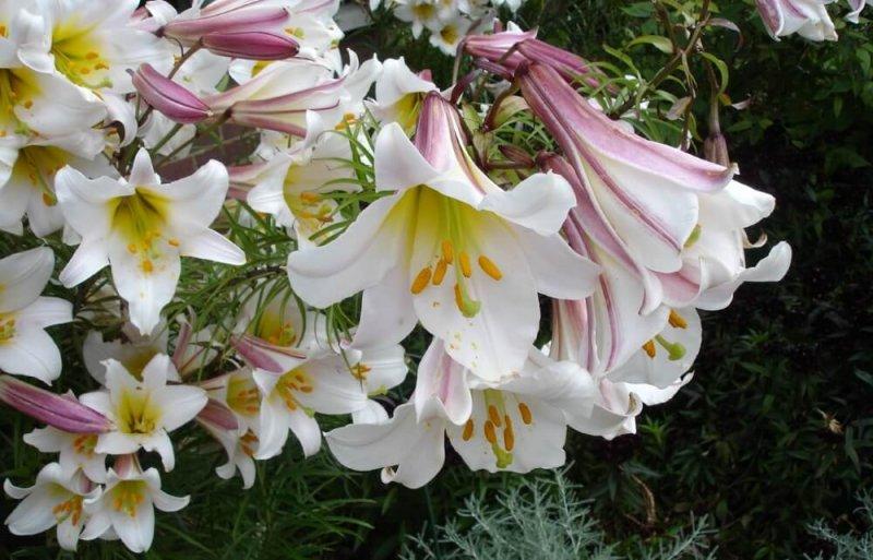 Лилии длинноцветковые
