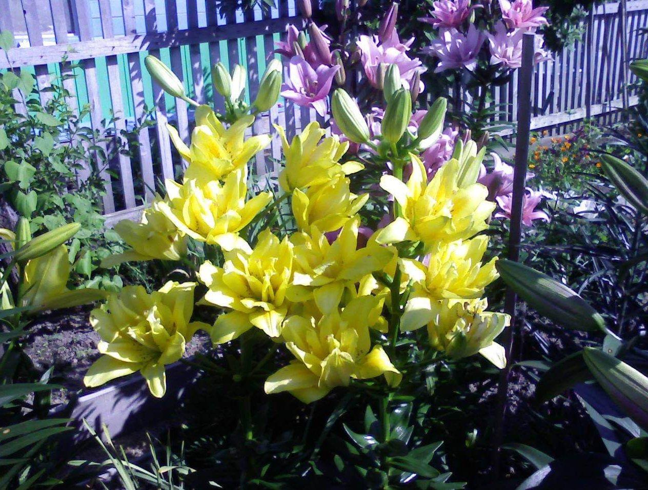 Какие лилии самые неприхотливые: секреты выращивания