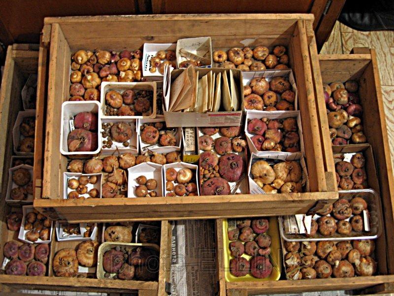 Луковицы, готовые к хранению