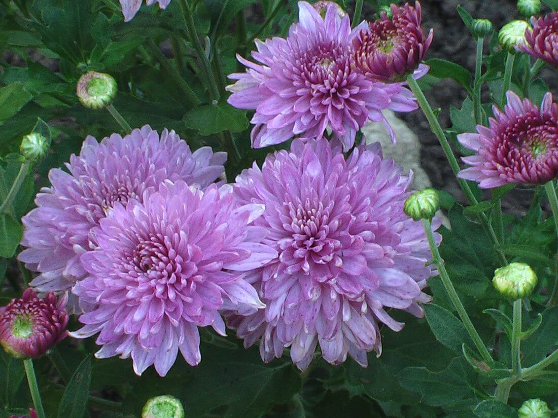 Многолетние садовые хризантемы