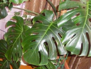 Комнатные растения с большими листьями: названия и описания