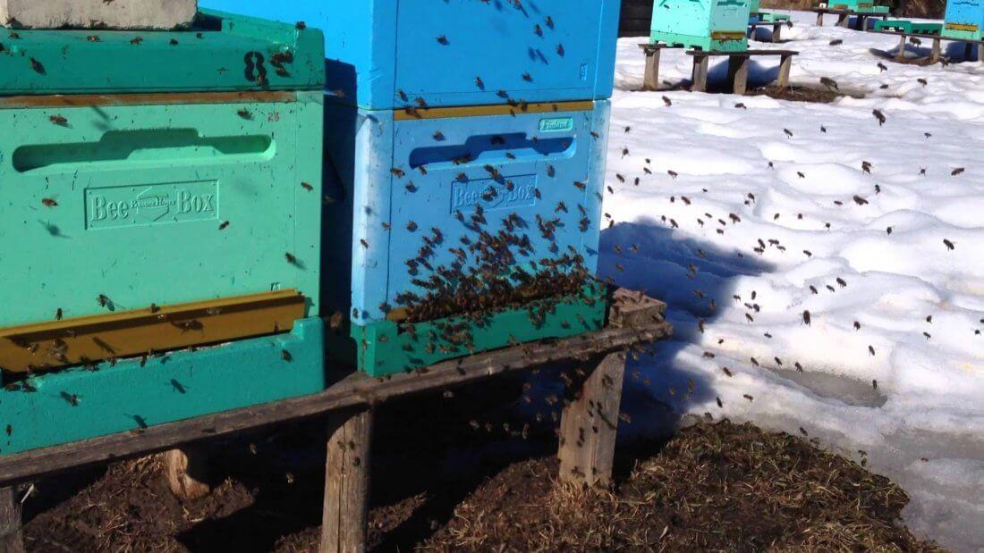 Облет пчел весной