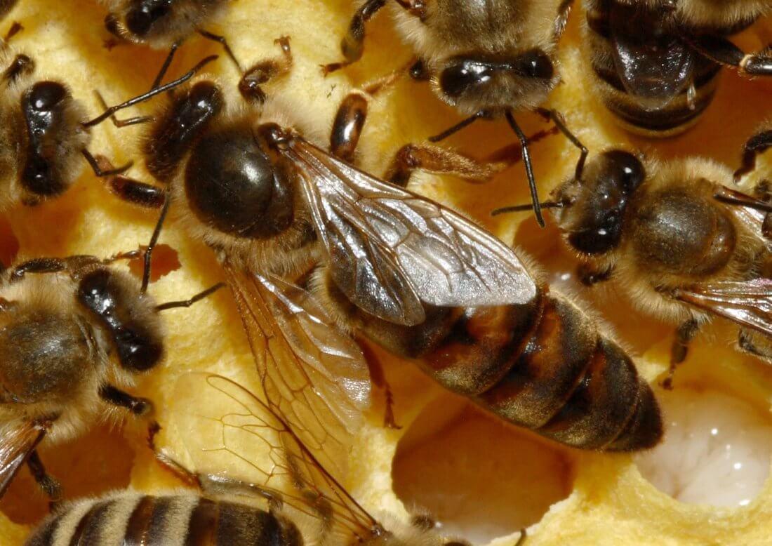 Пчела-матка