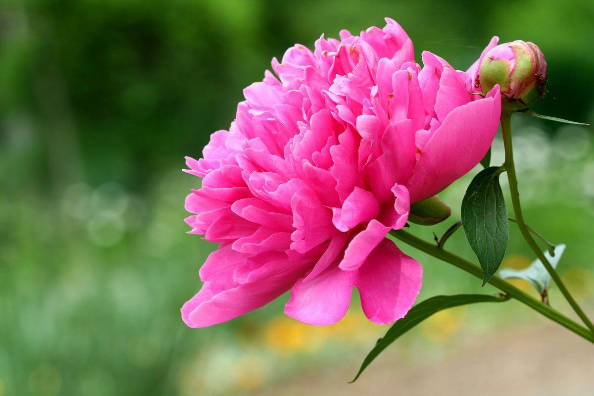 Чем удобрять пионы весной: сорта и техника посадки