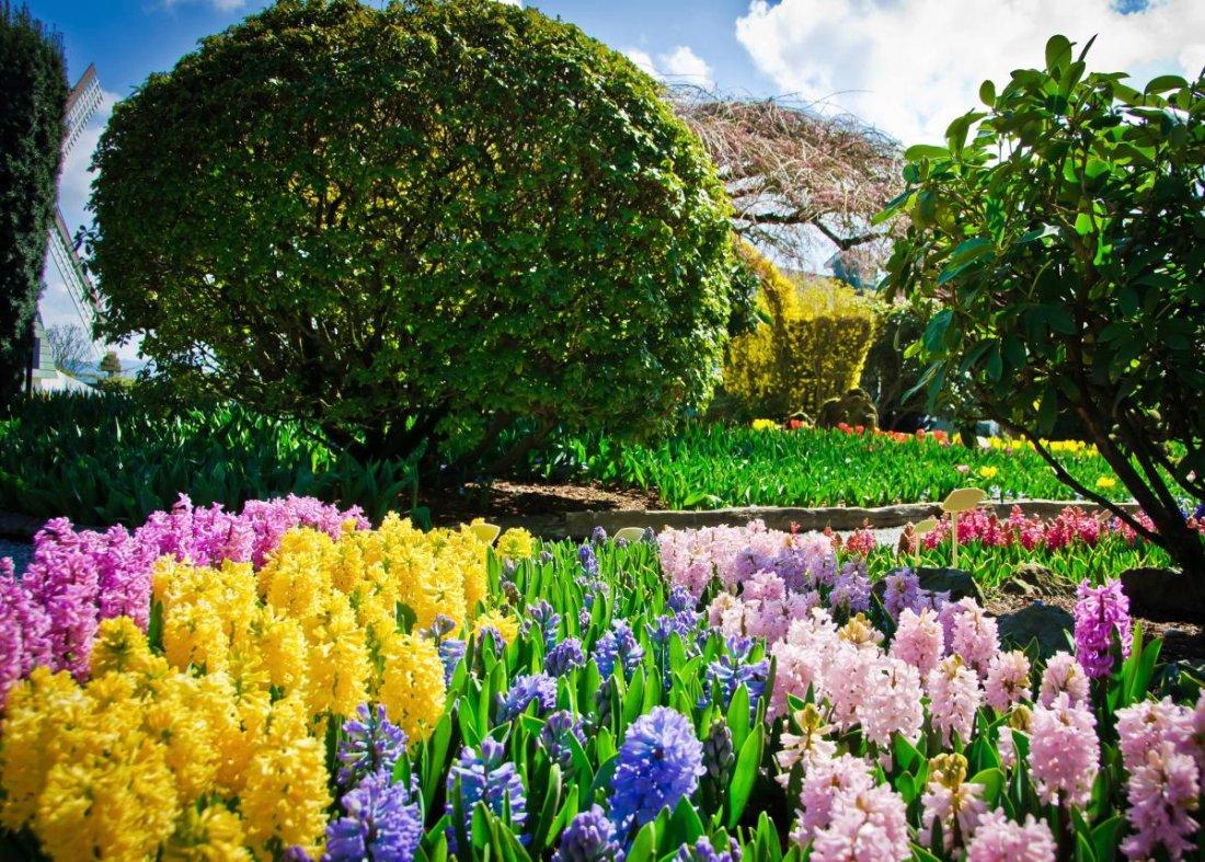 Разноцветные гиацинты
