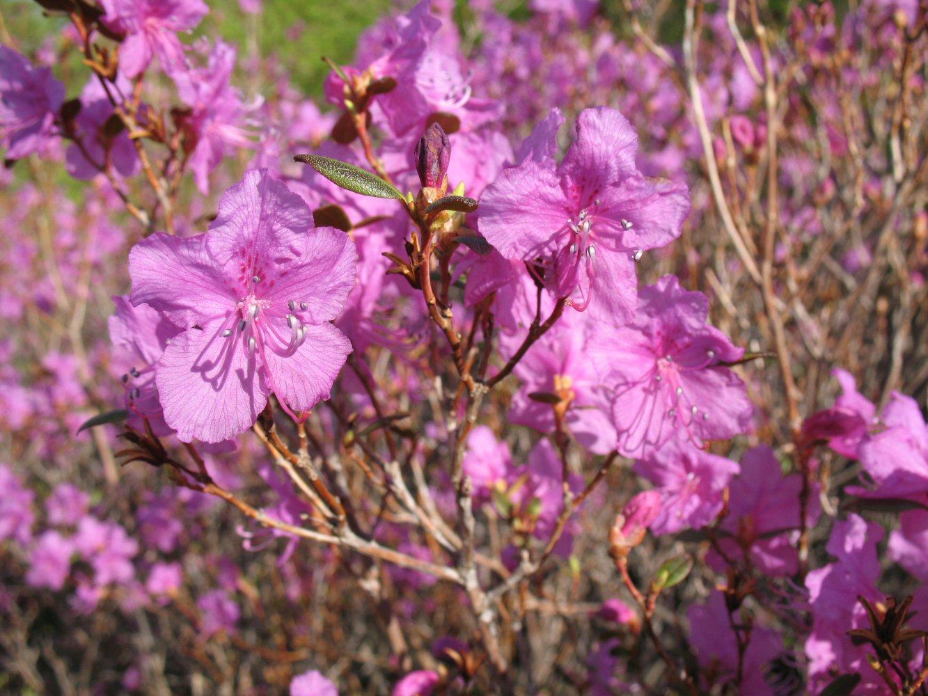 Рододендрон даурский: посадка и уход, рекомендации садоводов