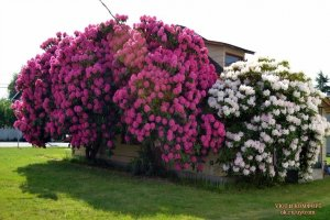 Рододендроны: посадка и уход в открытом грунте для украшения сада