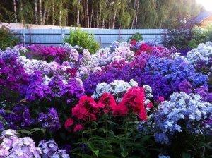 Розноцветье флоксов